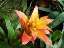 Rosa färg- och gulingbromeliablomma Royaltyfria Bilder
