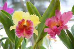Rosa färg- och gulingCattleya orkidé Royaltyfri Fotografi