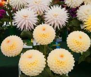Rosa färg- och gulingdahlia på skärm Royaltyfria Foton