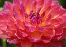Rosa färg- och gulingkrysantemum arkivbilder