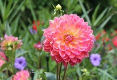 Rosa färg- och gulingkrysantemum arkivfoto