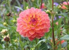 Rosa färg- och gulingkrysantemum royaltyfria foton