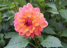 Rosa färg- och gulingkrysantemum arkivfoton