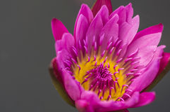 Rosa färg- och gulinglotusblomma Royaltyfri Fotografi