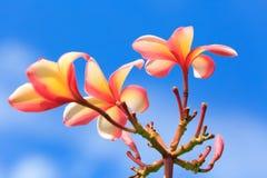 Rosa färg- och gulingplumeria i trädgården Arkivbilder