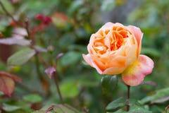 Rosa färg- och gulingros Arkivbild