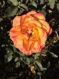 Rosa färg- och gulingros Arkivbilder