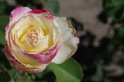 Rosa färg- och gulingros Arkivfoton