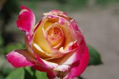 Rosa färg- och gulingros Royaltyfria Bilder