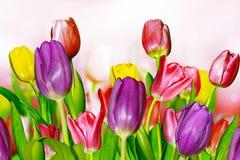 Rosa färg- och gulingtulpan Fotografering för Bildbyråer