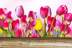 Rosa färg- och gulingtulpan Royaltyfria Foton