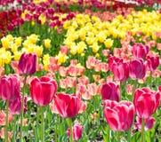 Rosa färg- och gulingtulpan i solig vårdag Arkivbild