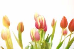 Rosa färg- och gulingtulpansolnedgång Arkivbilder