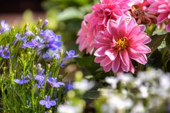 Rosa färg- och lilablommasammansättning Arkivbilder