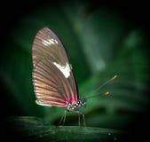 Rosa färg- och svartfjärilsslut upp Royaltyfri Foto