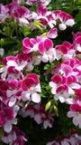 Rosa färg- och vitblom Royaltyfri Bild