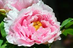 Rosa färg- och vitblomma Arkivbild