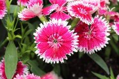 Rosa färg- och vitblomma arkivbilder