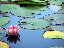 Rosa färg- och vitlilja Fotografering för Bildbyråer