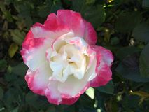 Rosa färg- och vitros Royaltyfri Fotografi