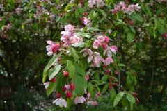 Rosa färg- och vitvårblomning Arkivfoton
