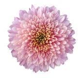 Rosa färg-röd-lilor blommar krysantemumet, trädgårdblomman, vit isolerad bakgrund med den snabba banan closeup Inget skuggar guli royaltyfri bild