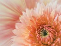 Rosa färg-röd suddig bakgrund blommadahlia på den suddiga bakgrunden alla några objekt för den blom- illustrationen för sammansät Royaltyfria Bilder