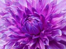 Rosa färg-violett blomma för dahlia Makro Brokig stor blomma Bakgrund från en blomma Arkivbild
