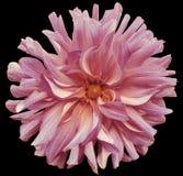 Rosa färg-violett stor blomma för höst, gul mitt på en svart bakgrund med den snabba banan closeup stor lurvig blomma E Fotografering för Bildbyråer