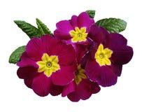 Rosa färg-violetta violets blommar, vit isolerad bakgrund med den snabba banan closeup Inget skuggar För design royaltyfri fotografi