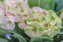 Rosa färg-vit blommar - kronan av taggar - Euphorbiamilii Fotografering för Bildbyråer