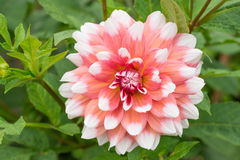 Rosa färg-vit dahlia i natur Royaltyfri Foto