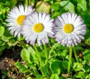 Rosa färg-vit daisys Arkivfoto