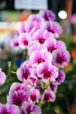 Rosa färg-vit Dendrobiumorkidé Royaltyfria Bilder