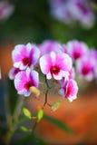 Rosa färg-vit Dendrobiumorkidé Royaltyfri Bild