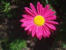 Rosa färgblomma 02 Arkivfoto