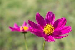 Rosa färgblomma Arkivbild