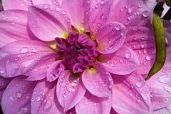 Rosa färgblomma Royaltyfri Foto