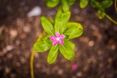 Rosa färgblomma Arkivbilder