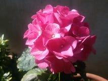 Rosa färgblomma Royaltyfri Bild
