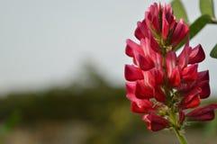 Rosa färgblomma Royaltyfria Bilder