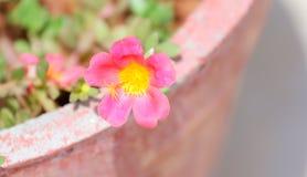 Rosa färgblomma Royaltyfria Foton