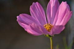 Rosa färgblomma Royaltyfri Fotografi