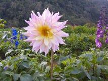 Rosa färgblomma, Ang Khang Thailand Arkivbilder