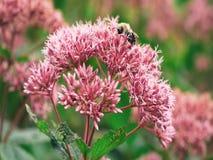 Rosa färgblomma Blomma bougainvilleabild härliga blommor royaltyfria bilder