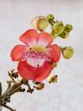 Rosa färgblomma, Cannonballträdblommor Arkivfoto