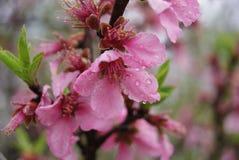 Rosa färgblomma efter regn Arkivfoto