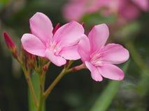 Rosa färgblomma eller oleander i trädgården Royaltyfri Bild