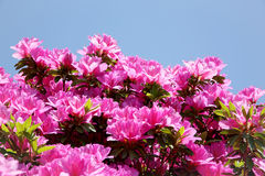 - rosa färgblomma - gräsplansidor Arkivfoton