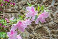 - rosa färgblomma - gräsplansidor Fotografering för Bildbyråer